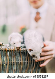 The close-up photo of the little gray ferrets getting out of the woven box which is held by the groom`s hands.