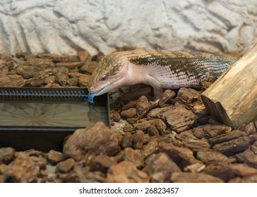 close-up photo of lizard drinking water