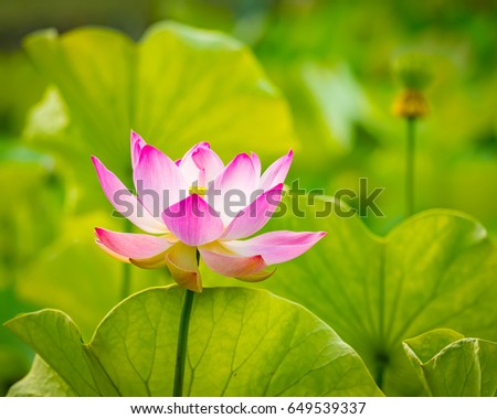 Closeup photo lotus flower stock photo edit now 649539337 closeup photo of the lotus flower izmirmasajfo