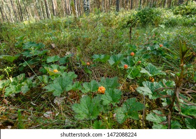 A close-up photo of a luscious ripe cloudberry (Rubus chamaemorus). Ripe cloudberry grows on a swamp. wild fruit from the arctic region