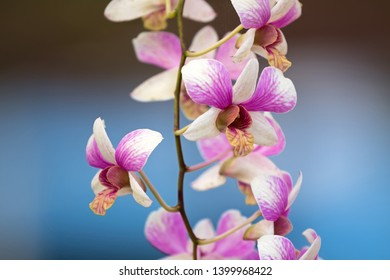 Closeup photo of orchid flower with pink purple white petals, yellow lips with blurred blue background
