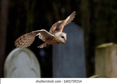 Close-up photo of an owl flying over the tombstones of an old abandoned cemetery. A moody winter photo. Barn Owl, Tyto alba