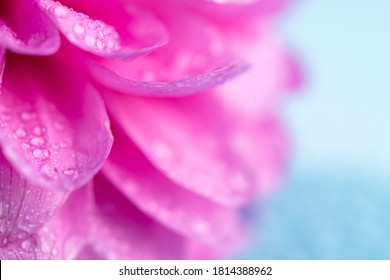 Closeup photo of pink flowers dahlia with water drops on blue background