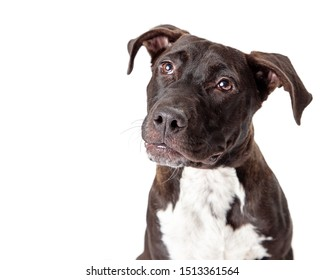 Closeup photo of Pit Bull dog with black coat and white chest looking upwards and to the side