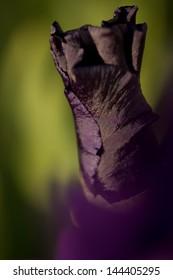 Close-up photo of a purple iris