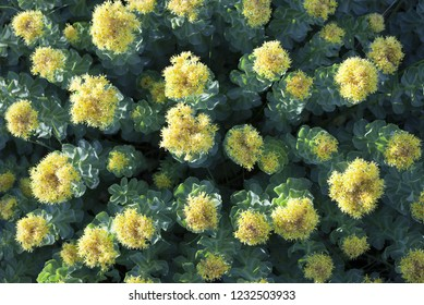 Closeup photo of Roseroot / Golden root (Rhodiola rosea) flowers in sunshine. Photographed in Helgeland, Norway.
