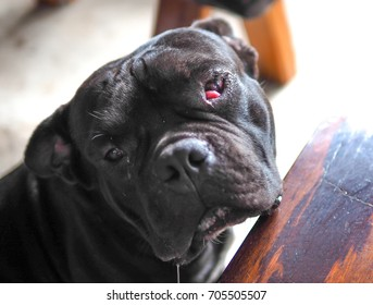 Closeup photo of a senior black pit bull breed dog with a prolapsed third eyelid or cherry eye disease