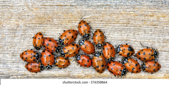 A closeup photo of several ladybugs (Coccinellidae) on a plain wooden background.