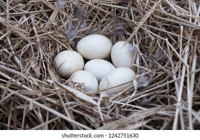 Closeup photo of six eggs in the nest of the greylag goose (Anser anser), made of dried grass and culms