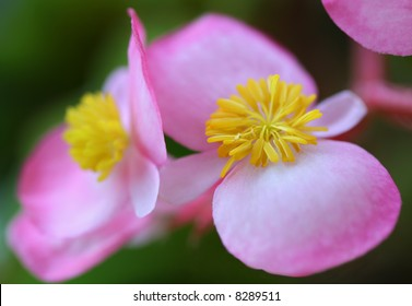 Close-up photo of a small pink yellow flower
