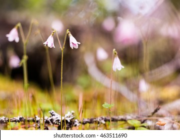 Close-up photo of twinflowers (Linnea borealis) in a Nordic forest in Finland.