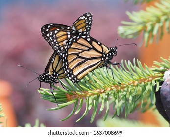 Closeup Photo of Two Monarch Butterflies Mating