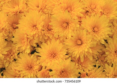 Closeup photo of typical for Fall (Autumn) and Thanksgiving Yellow bloom of Mums can be used as background