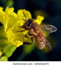 Close-up photo of a Western Honey Bee (Apis mellifera) gathering nectar and pollen and spreading pollen on yellow blossoms of Kale (Brassica oleracea).
