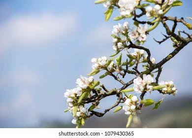 closeup photo of white apple blossom in April