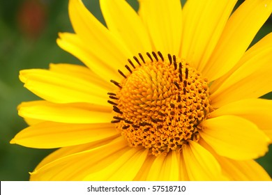 Closeup photo of yellow arnica flower in the garden