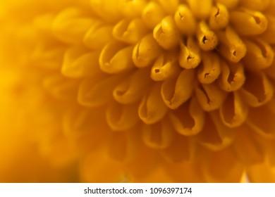 Closeup photo of a yellow chrysanthemum