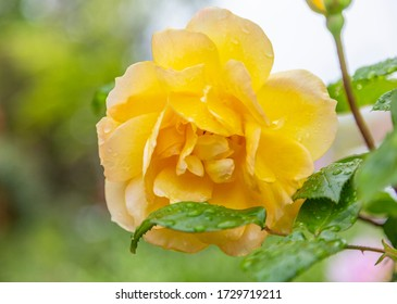 A closeup photo of a yellow rose with drops of water on petals. Green leaves are on right side of frame. Shallow depth of field background.