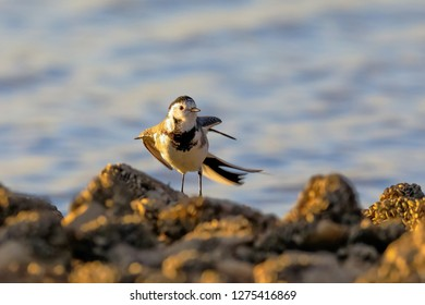 Close-up photo of a young wagtail on a stony beach with shells. White Pied Wagtail, Motacilla alba.