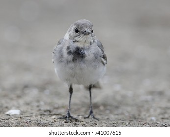 Close-up photo of a young wagtail on the muddy bottom of a pond. White Pied Wagtail, Motacilla alba.