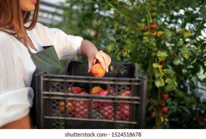 Closeup photo of young woman harvesting tomatoes into a plastic box in a hothouse