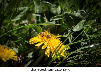 Closeup photograph of a bee on a dandylion.