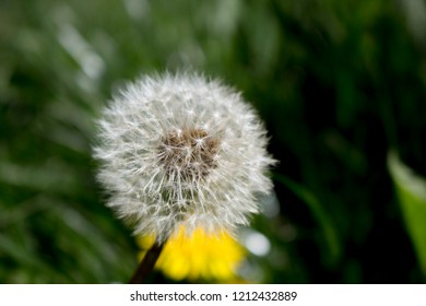 Closeup photograph of a dandylion head gone to seed.