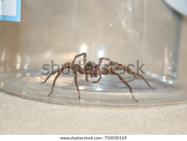 Closeup Photograph Huntsman Spider Brisbane Australia Stock Photo