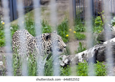 close-up photograph of a leopard living in a zoo
