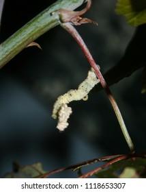 A close-up photograph of aWhite Looper Moth (Pingasa chlora)in Brisbane, Australia.