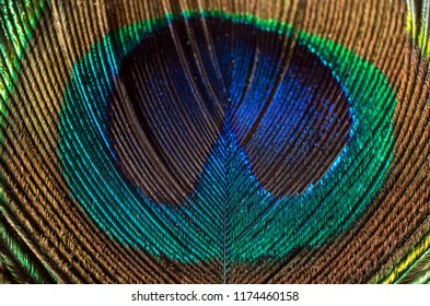 closeup photograph of peacock feather