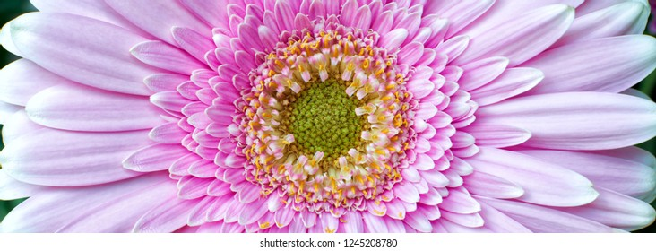 Close-up photograph of a pink chrysanthemum flower in bloom showing petals,stamen and pollen