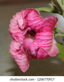 A close-up photograph of a pink shrivelling Hibiscus flower. This photo was taken in Brisbane, Australia.