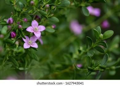 close-up photograph of plant flowers Boronia crenulata