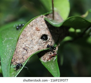 A close-up photograph of a Rattle Ant's nest. Rattle Ants (Polyrhachis australis) are also known as Black Weaver Ants & Dome-backed Spiny Ants. This photo was taken in Brisbane, Australia.