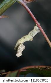A close-up photograph of a White Looper Moth (Pingasa chlora) in Brisbane, Australia.