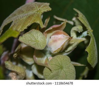 A close-up photograph of a White Looper Moth (Pingasa chlora) camouflaged amongst foliage in Brisbane, Australia.