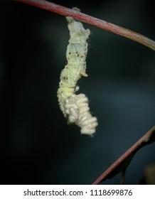 A close-up photograph of a White Looper Moth Caterpillar (Pingasa chlora) in Brisbane, Australia.