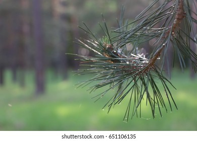 Closeup photograph of white pine needles with a shallow depth of field.