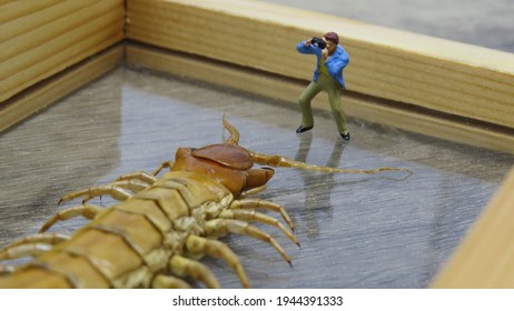 Closeup of Photographer focusing on approaching Giant Centipede