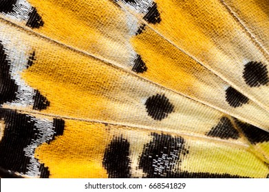 Close-up photography of Fivebar Swordtail(Graphium antiphates pompilius,Fabricius, 1787) Butterfly wing, butterfly wing detail texture background