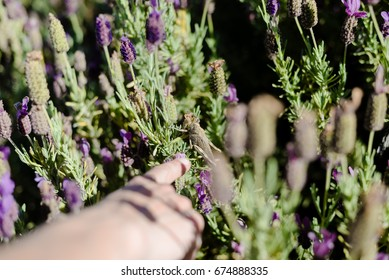 Closeup photography of lavender bushes on sunny outdoors. Colorful natural abstract background