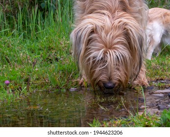 Close-up photography of a mongrel dog drinking water from a puddle in a farm near the colonial town of Villa de Leyva, Colombia.