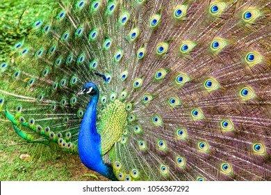Close-up photography of the multiple eyes of the feathers of an indian peafowl (peacock) in full display.