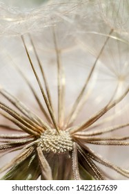 Close-up photot of Seeds of damn beard flower, Tragopogon dubius or salsify. Abstract natural background.