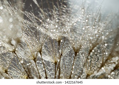 Close-up photot of Seeds of damn beard flower, Tragopogon dubius or salsify covered by dew drops. Abstract natural background.