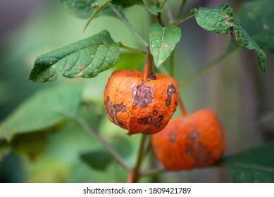 closeup of physallis plant in shaped halloween pumpkin