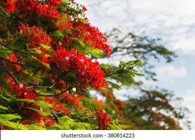 Closeup picture of Flamboyant tree flowering, Mauritius Island