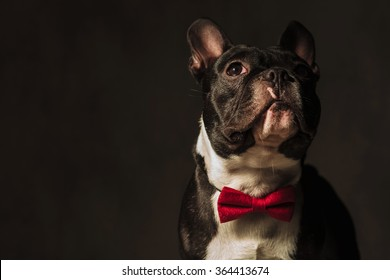 closeup picture of a french bulldog puppy dog looking away from the camera in studio, wearing a red bow tie