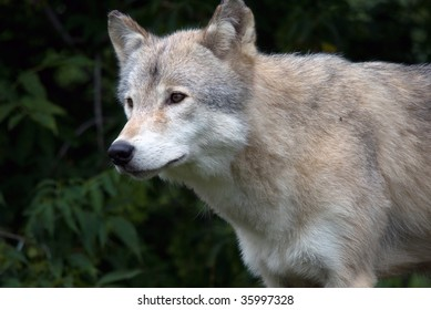 Closeup picture of a gray wolf in its natural habitat